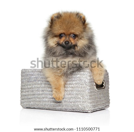 Cute Pomeranian Spitz puppy in wicker basket on white background. Baby animal theme Royalty-Free Stock Photo #1110500771