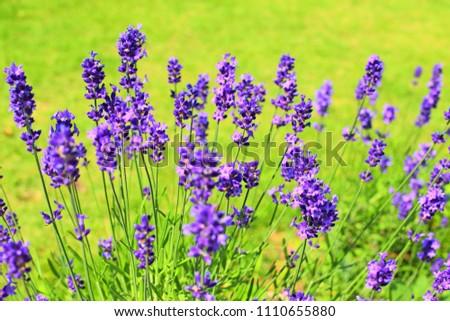 Purple lavender flowers in the garden #1110655880