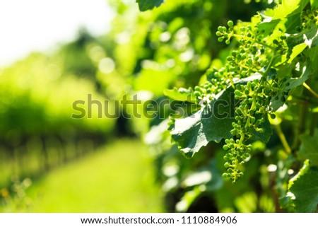 The vineyards of Buttrio in a summer day. Collio Friulano, Udine Province, Friuli Venezia-Giulia, Italy #1110884906