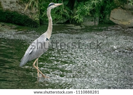 grey Heron on the river, France #1110888281