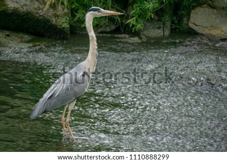 grey Heron on the river, France #1110888299