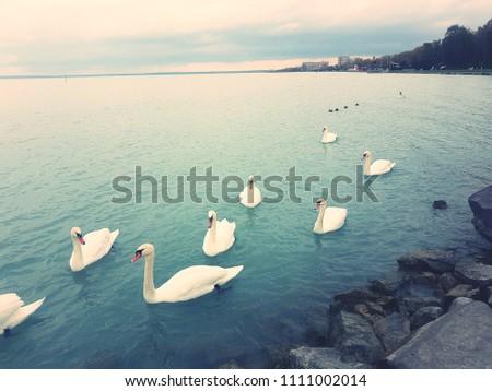 Swans on the lake Balaton #1111002014