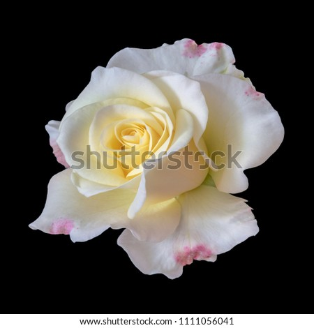 Fine art still life color flower top view macro photo of a wide open blooming yellow white red rose blossom with detailed texture on black background