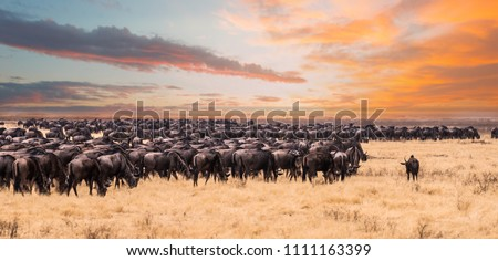 A migration of wildebeest in Serengeti national Park,Tanzania #1111163399