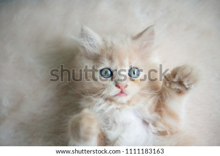 Cute little blue eyes cat Lying up on the floor