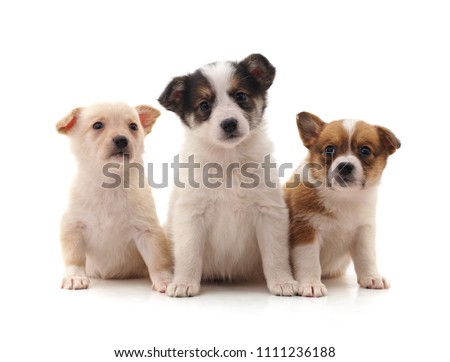 Three little puppies isolated on a white background. #1111236188