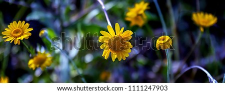 Header for facebook social media cut out for covers. Close-up image of wild yellow daisy summer shadow. Reduce the size of the header.