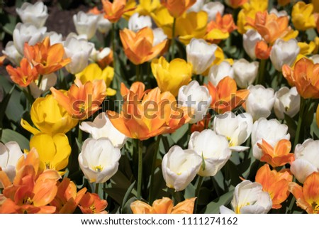 Beautiful Colorful Spring Tulips #1111274162