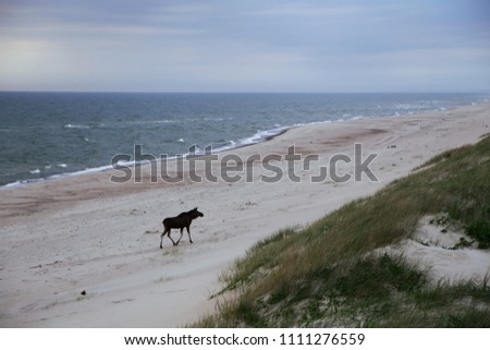 Wild moose on the beach in Nida (Lithuania, the Baltic Sea, the Curonian Spit). Rest in the north of Europe. Walk on the sand. Summer landscape. #1111276559