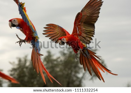 Scarlet Macaws coming in for a landing #1111332254