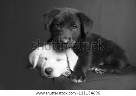 A black and white image of a white and a black Labrador puppies with one sleeping and the other on top of him on an isolated grey background. #111134696