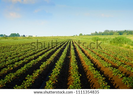 Meadow of potato cultivation in spring where young potato plants grow in beds of soil in green lines that diverge to the horizon #1111354835