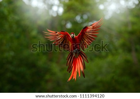 Red in forest. Macaw parrot flying in dark green vegetation with beautiful back light, . Scarlet Macaw, Ara macao, in tropical forest, Peru. Wildlife scene from tropical nature. #1111394120