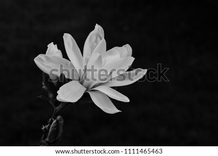 Black and white magnolia isolated