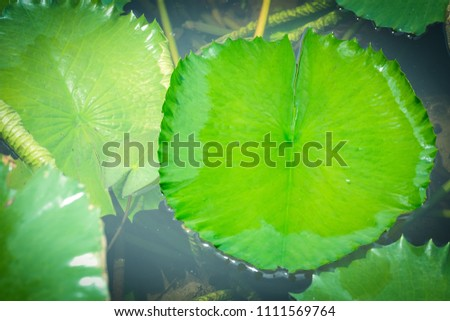 Green lotus leaves in the pond with drop of water #1111569764