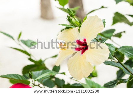 A wild white hibiscus with a magenta center growing in Mexico. #1111802288