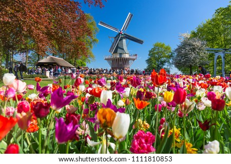 Blooming colorful tulips flowerbed in public flower garden with windmill. Popular tourist site. Lisse, Holland, Netherlands. #1111810853