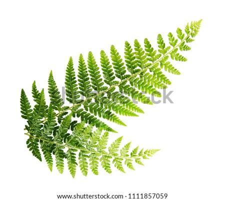 Fern leaf, Ornamental foliage, Fern isolated on white background, with clipping path #1111857059