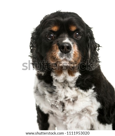 Close-up of a Cavalier King Charles dog, isolated #1111953020