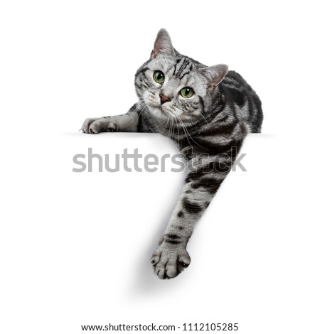 Handsome black silver tabby British Shorthair cat laying down / hanging over edge isolated on white background and looking straight in the lens #1112105285