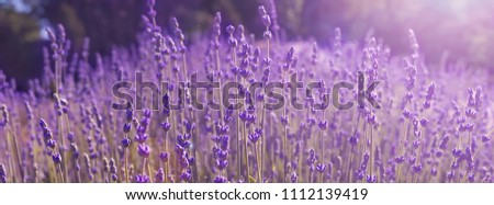 banner field lavender morning summer blur background. spring lavender background. flower background. shallow depth of field