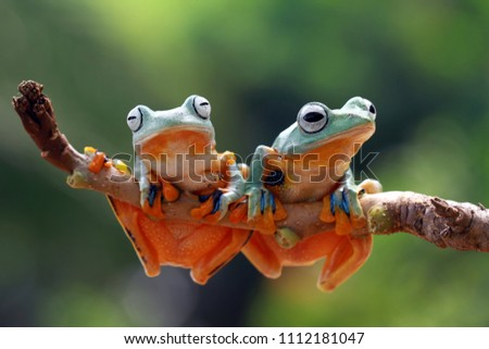 Tree frog, flying frog, animal #1112181047