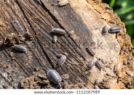 Close up of woodlice crawling over a decaying wooden log #1112187989