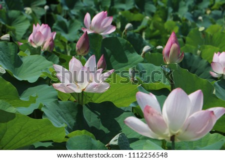 Lotus and green leafs #1112256548