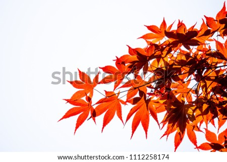 Red Acer palmatum, commonly known as palmate maple, Japanese maple or smooth Japanese-maple leaves on white background. Leaves changing its colour when autumn  #1112258174