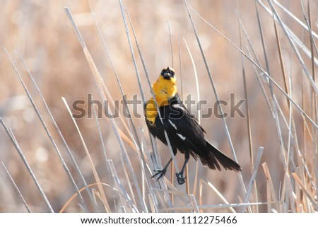 Yellow-headed blackbird in reeds at waters edge #1112275466