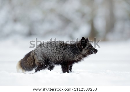 Black silver fox, rare form. Black animal in white snow. Winter scene with nice cute mammal. Fox in the snowy forest. #1112389253