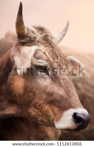 Cow portrait in forest. Eyes and horns. Brown animal. Farm. Summer. Moscow. Russia