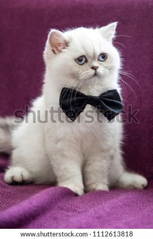 Cute fat white cat with blue eyes. Fluffy and soft. Funny face. Pink nose. Kitten boy and black bow