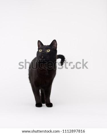 Handsome Black Cat on Light Background
