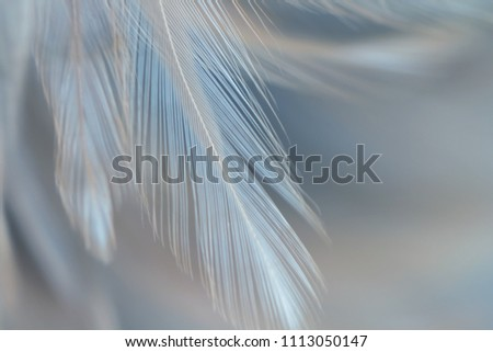 Bird and chickens feather texture for background Abstract,blur style and soft color of art design. #1113050147