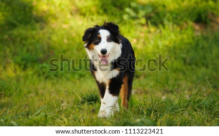 Australian Shepherd dog outdoor portrait walking in grass field  #1113223421