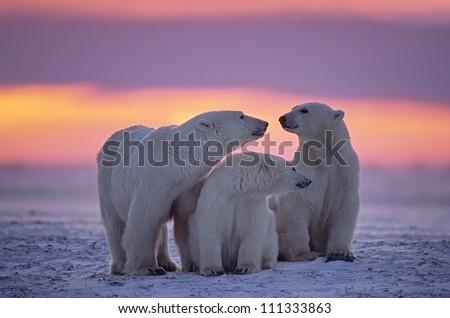Polar bear family in Canadian Arctic sunset.