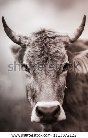 Cow's face in sepia. Farm. Summer. Moscow. Russia. Cow and horns