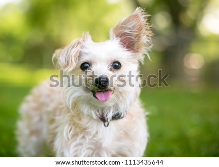 A cute small mixed breed dog with one upright ear and one floppy ear, sticking its tongue out #1113435644