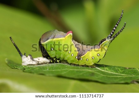 A Puss Moth Caterpillar (Cerura vinulais) resting on an Aspen tree leaf (Populus tremula) in woodland just after it has shed its skin. #1113714737