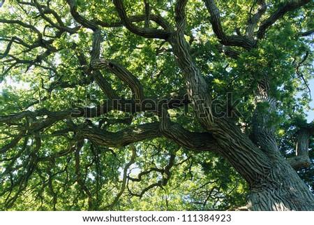 Oak tree #111384923