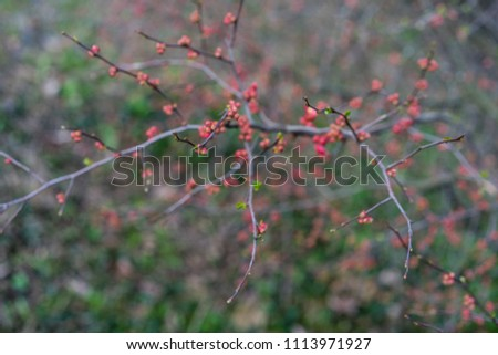 quince plant with ripe red fruits, chaenomeles speciosa from china #1113971927