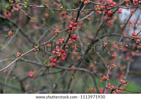 quince plant with ripe red fruits, chaenomeles speciosa from china #1113971930