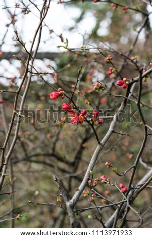 quince plant with ripe red fruits, chaenomeles speciosa from china #1113971933