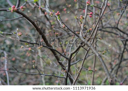 quince plant with ripe red fruits, chaenomeles speciosa from china #1113971936