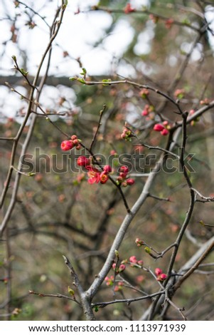 quince plant with ripe red fruits, chaenomeles speciosa from china #1113971939