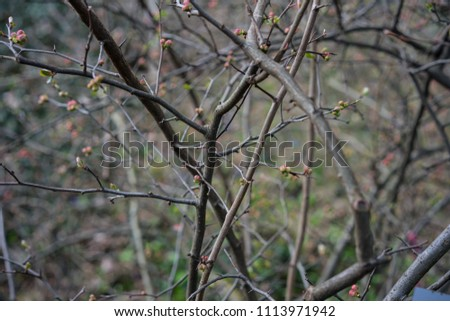 quince plant with ripe red fruits, chaenomeles speciosa from china #1113971942