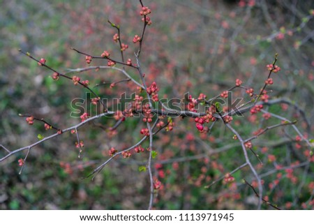 quince plant with ripe red fruits, chaenomeles speciosa from china #1113971945