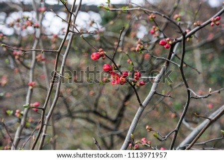 quince plant with ripe red fruits, chaenomeles speciosa from china #1113971957