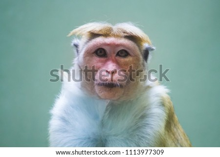 Toque macaque (Macaca sinica), reddish-brown-coloured monkey common in Sri Lanka animal portrait staring at camera in photo with selective focus due to shallow depth of field. #1113977309